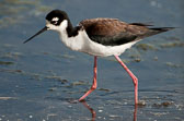 Black-necked-stilt-web-4.jpg